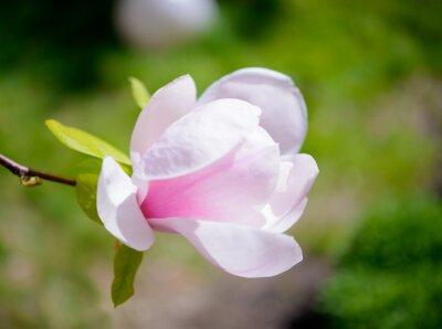 Carta da parati Bellissimi fiori rosa Magnolia su sfondo verde. Primavera floreale Immagine