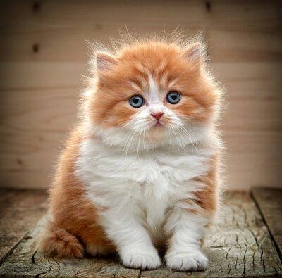 Carta da parati bellissimo gattino britannico capelli lunghi
