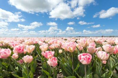 Carta da parati bello campo tulipano rosa nella giornata di sole