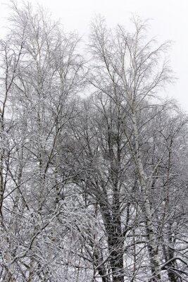 Carta da parati betulla coperta di neve