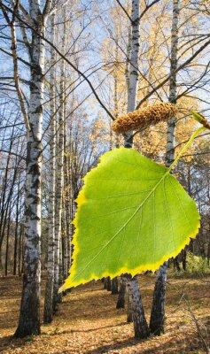 Carta da parati betulla in un parco vicino