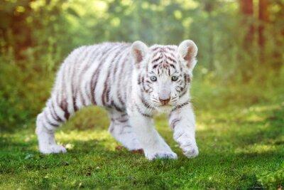 Carta da parati bianco cucciolo di tigre camminare all'aperto