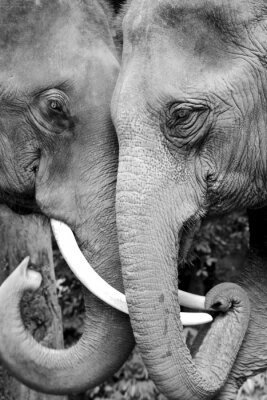 Carta da parati Black and white close-up photo of two elephants being affectionate.