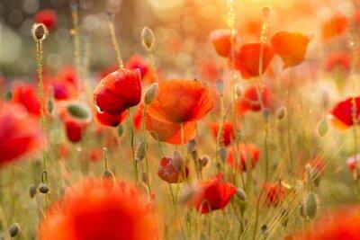 Carta da parati Blooming campo di papaveri in luce serale con Bokeh