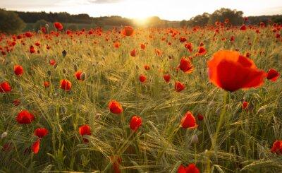 Carta da parati Blooming campo di papaveri nella luce della sera