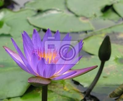 Carta Da Parati Fiori Di Loto : Blu fiore di loto in uno stagno carta da parati u carte da parati