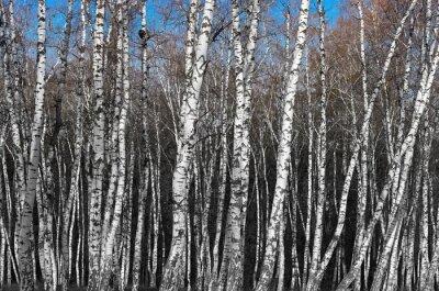 Carta da parati boschetto di betulle, bianco e nero sfumato