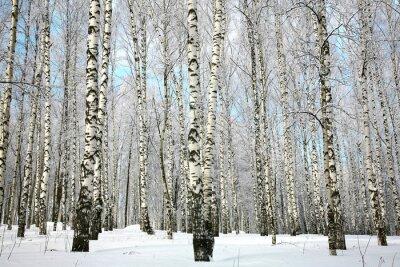 Carta da parati boschetto di betulle invernale con neve rami coperti