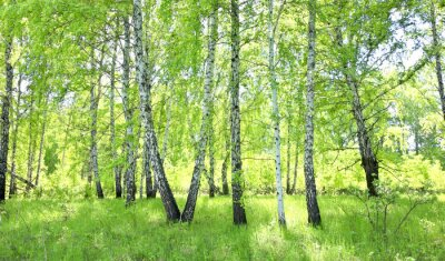 Carta da parati bosco di betulle