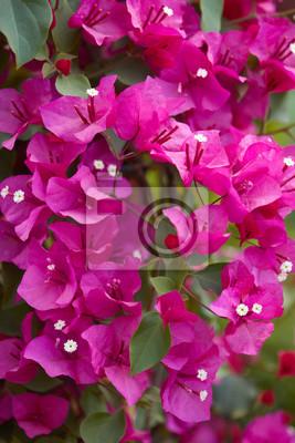 Bougainvillea Fiori Viola Texture Di Sfondo Carta Da Parati Carte