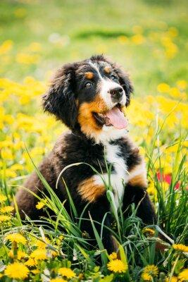 Carta da parati Bovaro o Berner Sennenhund cucciolo seduto in verde