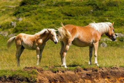 Carta da parati Brown e White Mare con puledro / Brown e cavallo bianco con puledro in montagna. Parco Nazionale di Adamello Brenta, Trentino Alto Adige, Italia