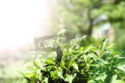 Carta da parati Bush con tè verde con foglie fresche, all'aperto