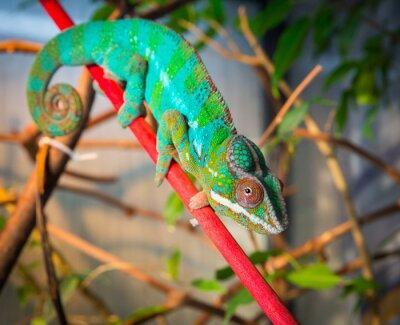 Carta da parati camaleonte luminoso e colorato seduto su un ramo