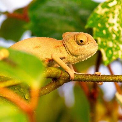 Carta da parati camaleonti