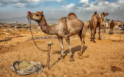 Carta da parati Cammelli alla Mela Pushkar Camel Fair, India