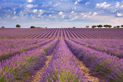 Carta da parati campi di lavanda in fiore in Provenza, nel sud della Francia
