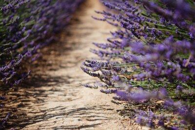 Carta da parati campi in fiore fiori di lavanda in Provenza, Francia