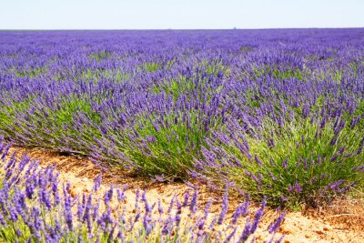 Carta da parati campo con piante di lavanda blu