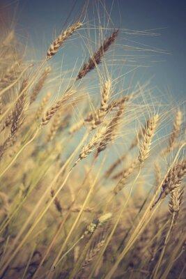 Carta da parati campo di grano dorato e giornata di sole
