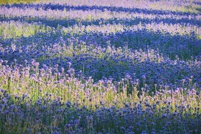 Carta da parati campo Fiore viola