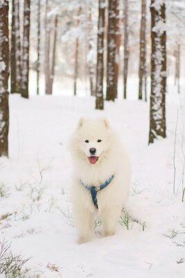 Carta da parati cane Samoiedo soggiornare in un bosco innevato
