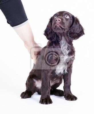 Cane Wachtel Tedesco 3 Mesi Di Insegnamento Cucciolo Di Sedersi