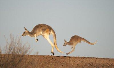 Carta da parati canguri nel Parco Nazionale di Sturt, New South Wales, Australia