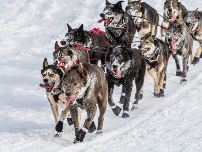 Carta da parati cani da slitta Iditarod