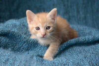 Carta da parati Carino piccolo gattino su sfondo blu coperta