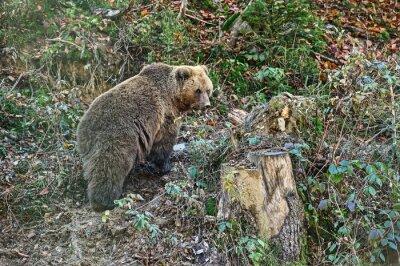 Carta da parati Carpazi Brown Bear