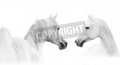 Carta da parati cavallo arabo bianco