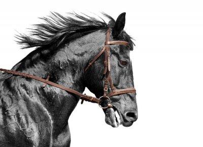 Carta da parati Cavallo ritratto in bianco e nero nel briglia marrone