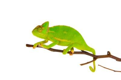 Carta da parati Chameleon su un ramo