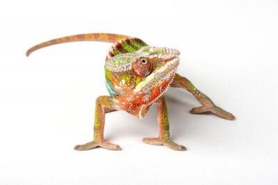 Carta da parati Chameleon su uno sfondo bianco