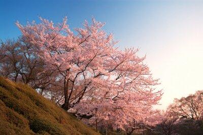 Carta da parati Cherry Blossoms in Kiyomizu-dera, Kyoto, Giappone