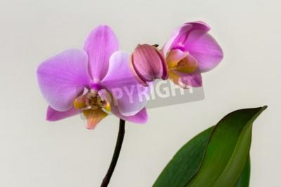 Carta da parati Close-up di fiore di orchidea pastello. Zen nell'arte dei fiori. Macro fotografia della natura.
