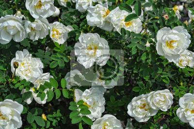 Carta Da Parati Rosa Bianca : Close up di una rosa bianca pianta in giardino carta da parati