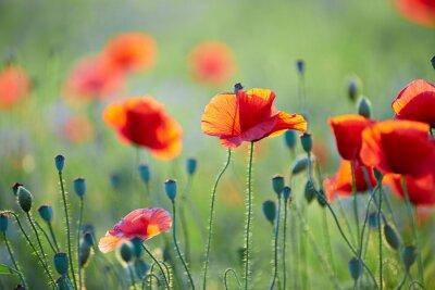 Carta da parati Close up od fiore di papavero