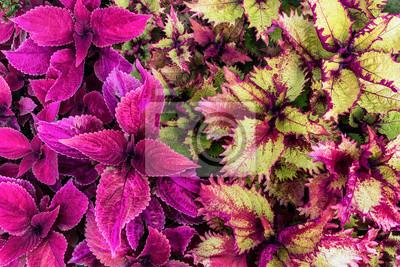 Carta Da Parati Coleo Viola E Verde Sfondo Con Lussureggiante Tappeto Vegetale