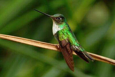 Carta da parati Collared Inca, Coeligena torquata, colibrì da Mindo foresta, uccelli dell'Ecuador