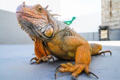 Carta da parati Colorato Young Male Iguana
