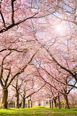 Carta da parati Colore della primavera: giardino con fiori di ciliegio giapponese :)