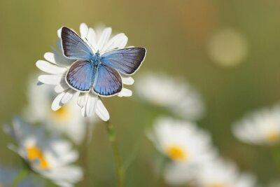Carta da parati Common Blue Butterfly