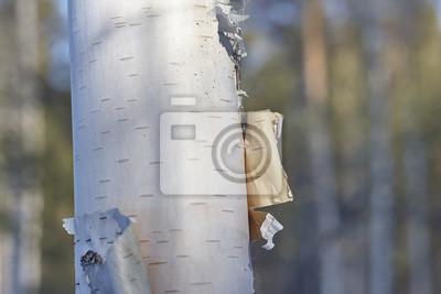 Carta da parati corteccia di betulla da vicino