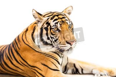 Carta da parati Crouching giovane tigre siberiana isolato su sfondo bianco