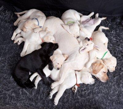 Carta da parati cuccioli di labrador che dorme con la madre