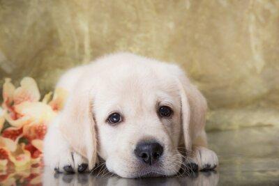 Carta da parati Cucciolo di razza labrador