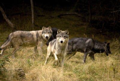 Carta da parati Curious Wolves in field