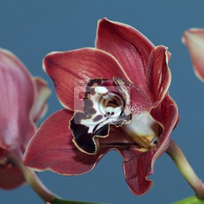 Carta da parati: Cymbidium o orchidea boat fiore, cornovaglia, inghilterra, regno
